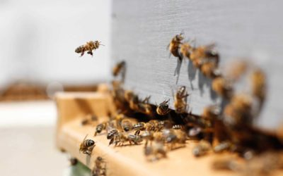 Pszczoły Zimą, Zimowanie Pszczół, Monitoring i Temperatura w Ulu